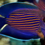 Striated surgeonfish